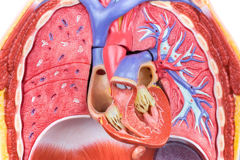 Model human body with lungs and heart royalty free stock images