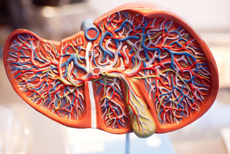 Model ludzcy organy wątróbka obraz royalty free