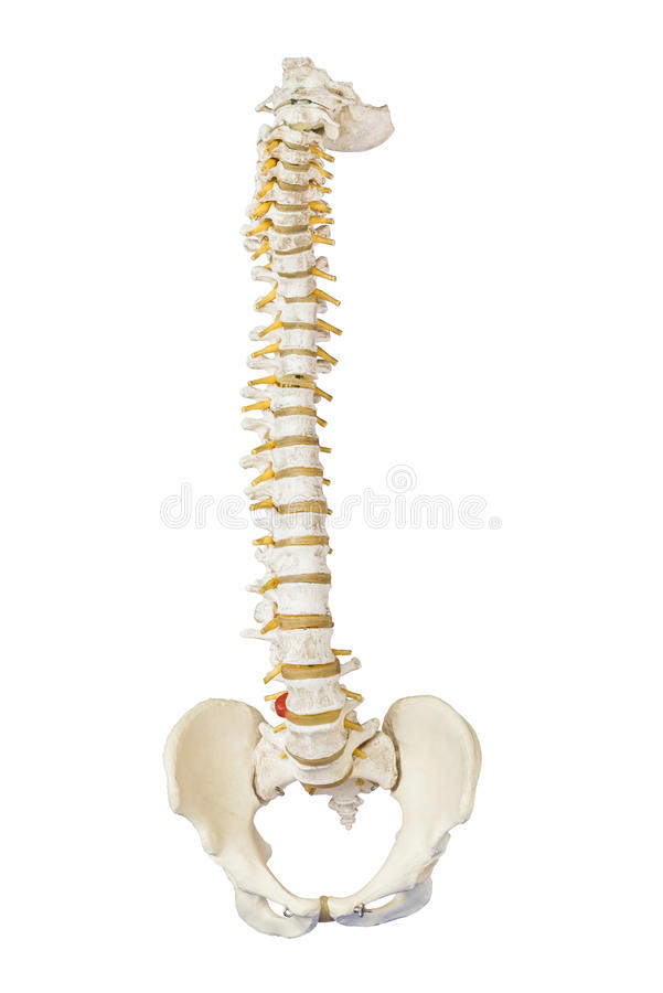 Free Model Of Human Spine Royalty Free Stock Photography - 58280737