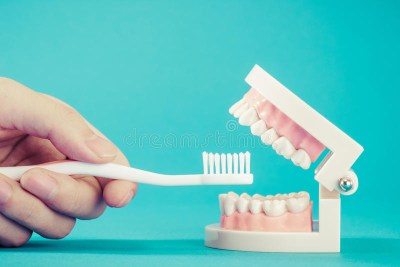 Model of teeth royalty free stock images