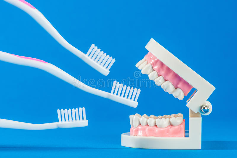Model of teeth. On the blue back royalty free stock image