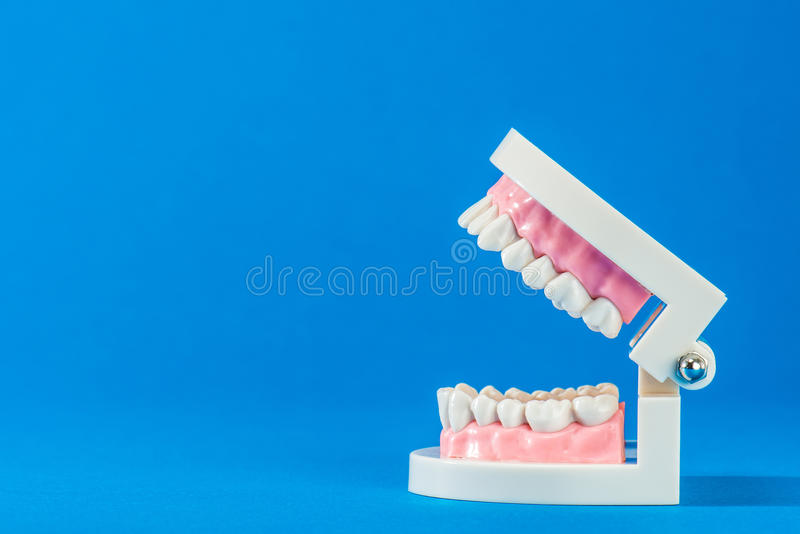 Model of teeth. On the blue back stock photo