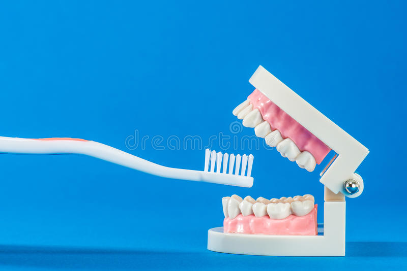 Model of teeth. On the blue back stock photography