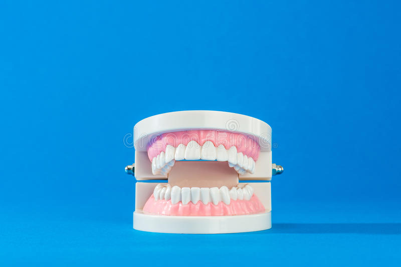 Model of teeth. On the blue back stock image