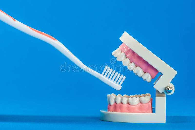 Model of teeth. On the blue back royalty free stock photo