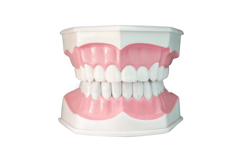 Artificial teeth.Oral care and dentistry stock photography