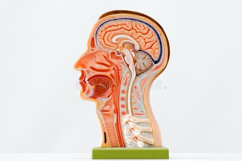Model van menselijk hoofd royalty-vrije stock foto's