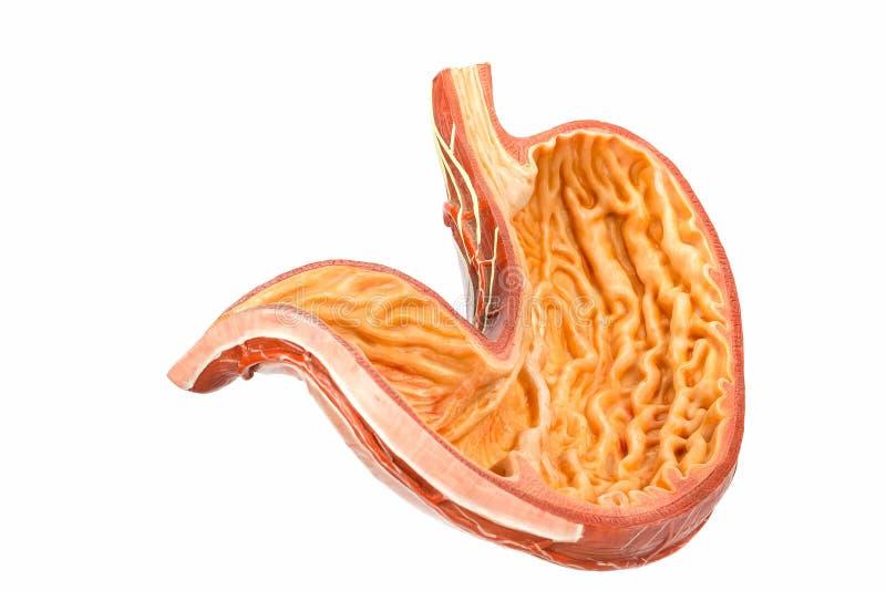 Model wśrodku ludzkiego żołądka na białym tle zdjęcie royalty free