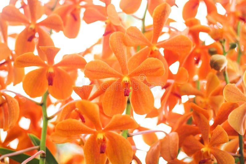 Modela a natureza do grupo alaranjado das orquídeas de Vanda das flores coloridas, testes padrões da planta decorativa para o fun foto de stock