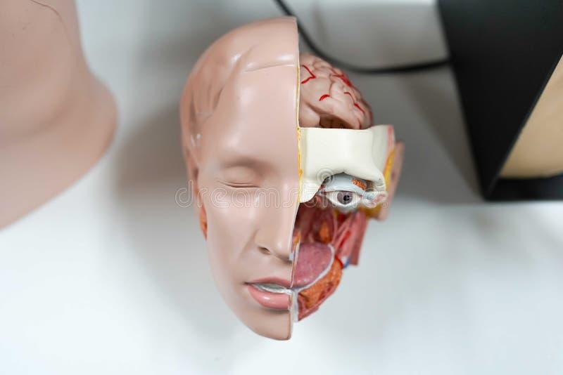 Modelanatomiehoofd medische achtergrond, menselijk gezicht royalty-vrije stock fotografie