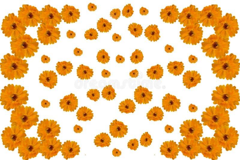 Modelez l'illustration des fleurs du souci de calendula sur le fond blanc illustration libre de droits