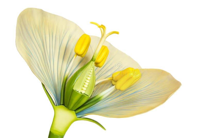 Modell av blomman med stamens och pistillar på vit arkivbild