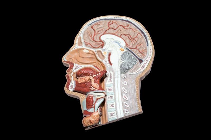 Modell av det mänskliga huvudet och halsen för den isolerade studien royaltyfri bild