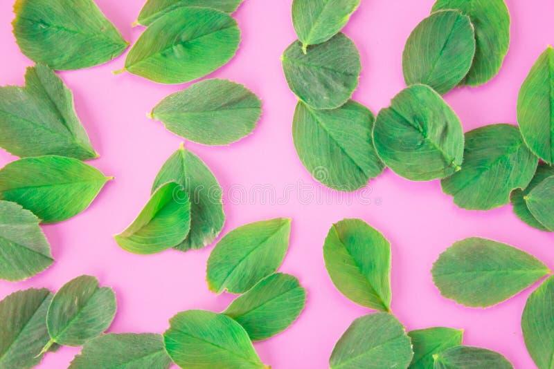 Modell av kronbladv?xt av sl?ktet Trifoliumsidor p? en rosa bakgrund naturlig wallpaper Lekmanna- l?genhet, b?sta sikt arkivbild