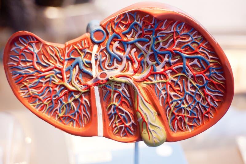 Modell av mänskliga organ, levern royaltyfri bild