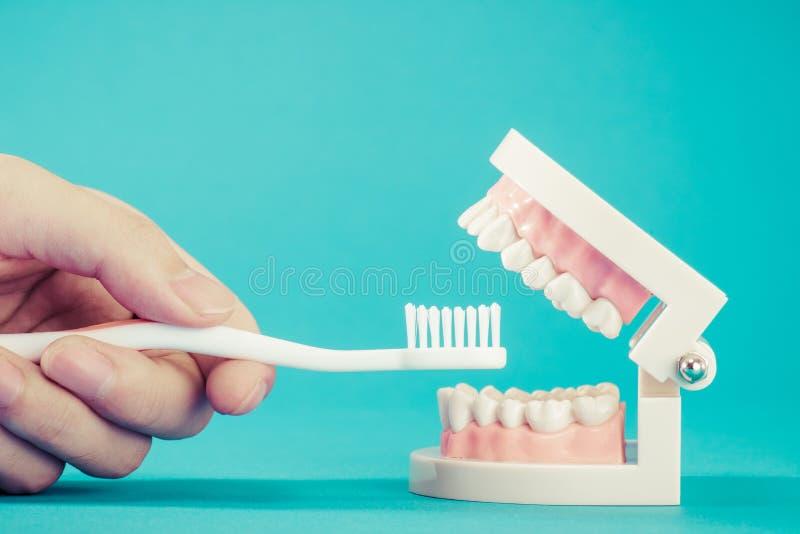 Modell av tänder royaltyfria bilder