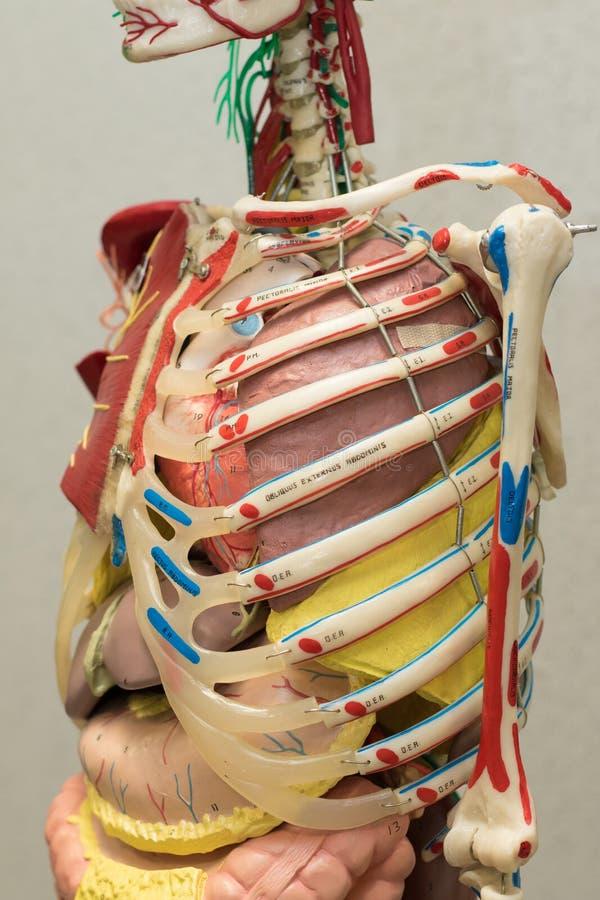 Modell Des Menschlichen Körpers Der Anatomie Teil Des Modells Des ...