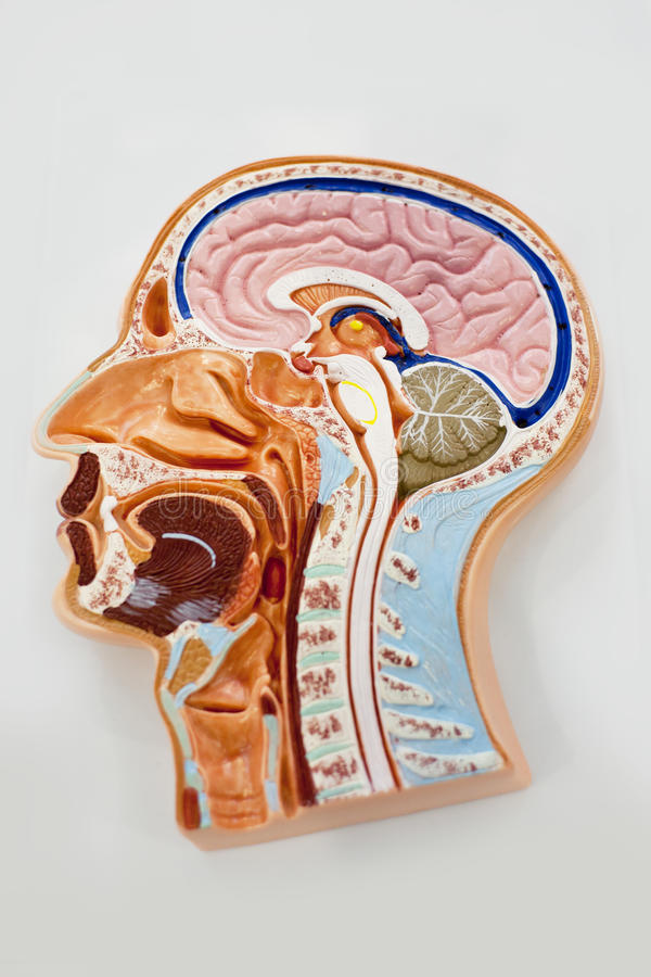 Modell des menschlichen Körpers, Gehirnanatomiediagramm lizenzfreie stockbilder