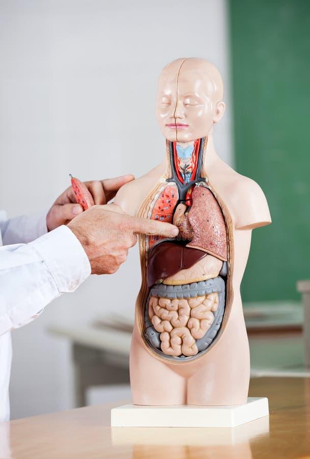 Modell At Desk för professor Pointing At Anatomical arkivfoton
