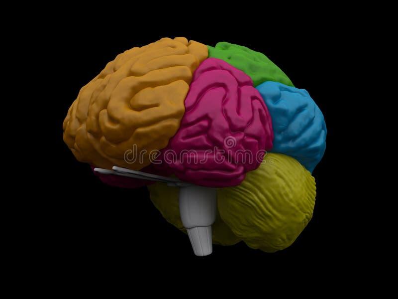 modell för hjärna 3d vektor illustrationer