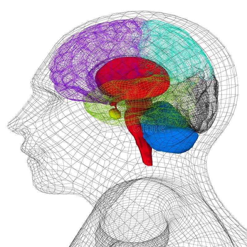 Modell för mänskligt huvud för tråd med hjärnan stock illustrationer