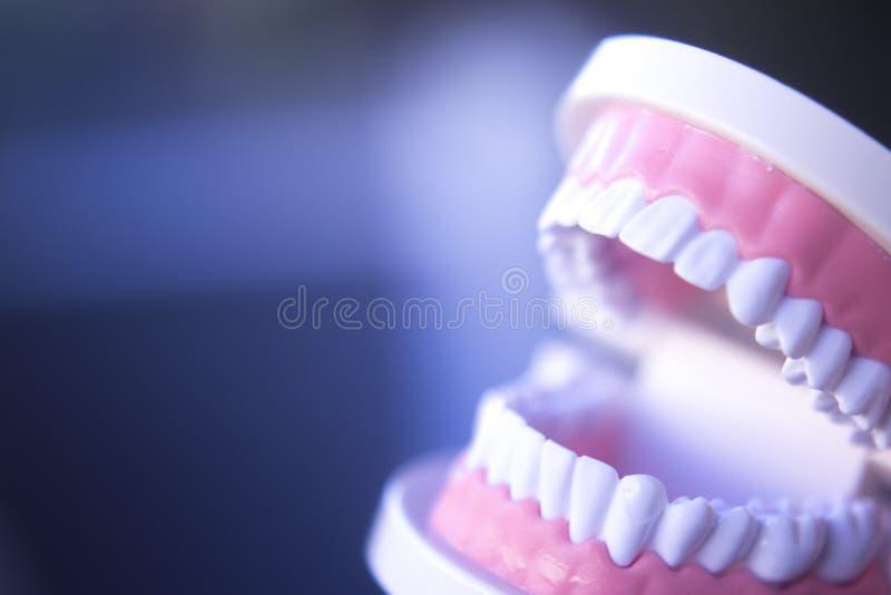 Modell för tandläkekonstundervisningtand arkivbild