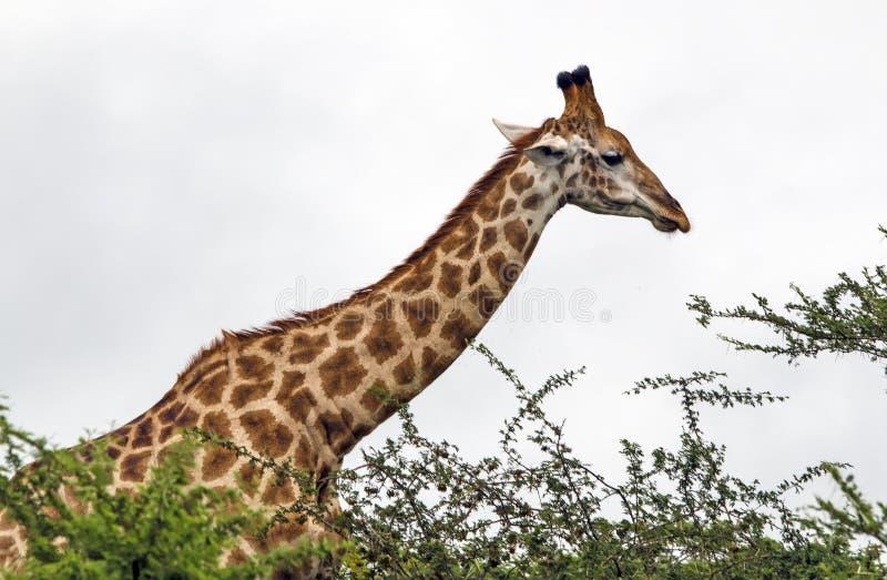 Modell och textur av giraffkroppen mot mulen himmel arkivfoto