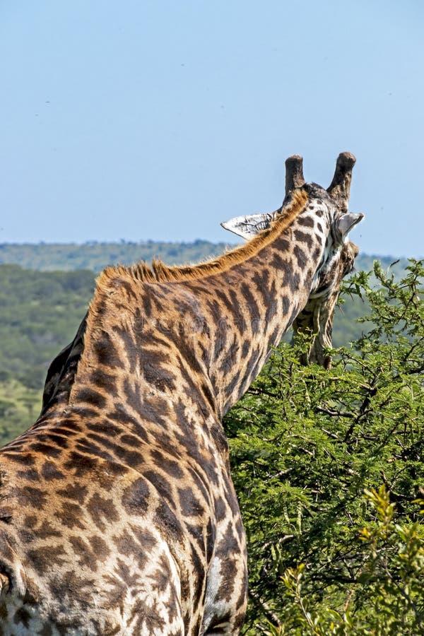 Modell och textur av giraffkroppen mot naturliga Hilly Landsc royaltyfri fotografi