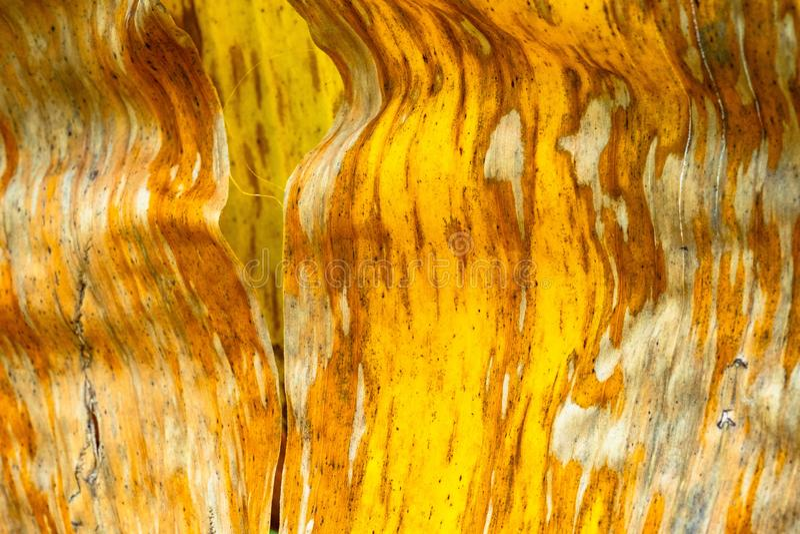 Modell- och texturbanansidor, färgrik grönt, gult och torrt Closeup av bakgrund selektivt f för abstrakt begrepp för bananbladtex royaltyfri fotografi