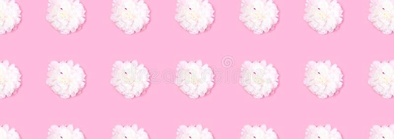 Modell som göras av det härliga mjuka vita pionblommahuvudet på rosa bakgrund, baner eller titelrad royaltyfria foton