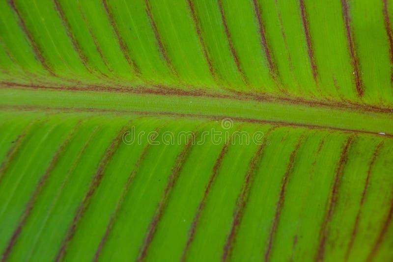 Modeller för Solf bakgrundsvenation av det gröna bladet arkivbild