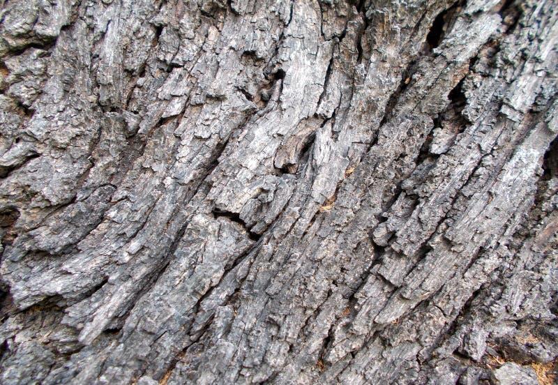 Modeller för textur för trädskäll, träskal för bakgrunder garnering cortex royaltyfri foto