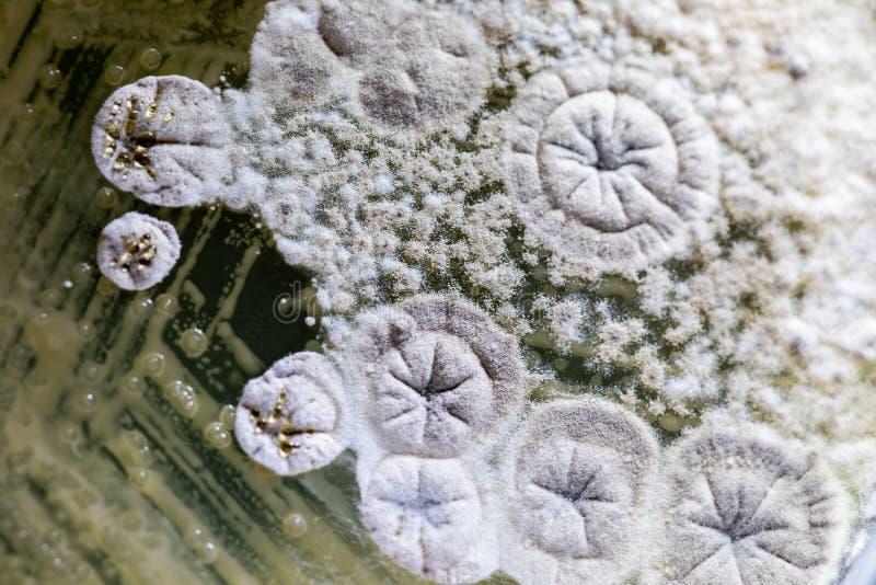 Modelli bello, colonia delle caratteristiche della muffa del fungo in piatto di terreno di coltura dal laboratorio immagine stock