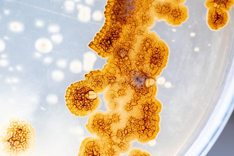 Modelli bello, colonia delle caratteristiche della muffa del fungo in piatto di terreno di coltura dal laboratorio fotografia stock