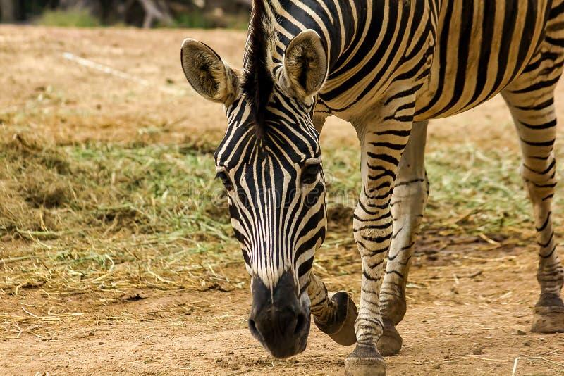 Modelli capi della zebra del nero alternante di colore bianco immagine stock libera da diritti