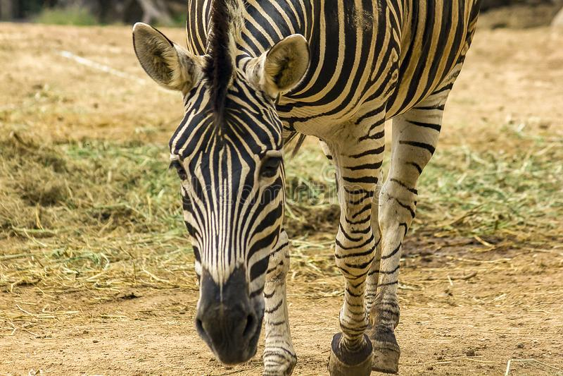 Modelli capi della zebra del nero alternante di colore bianco fotografie stock libere da diritti