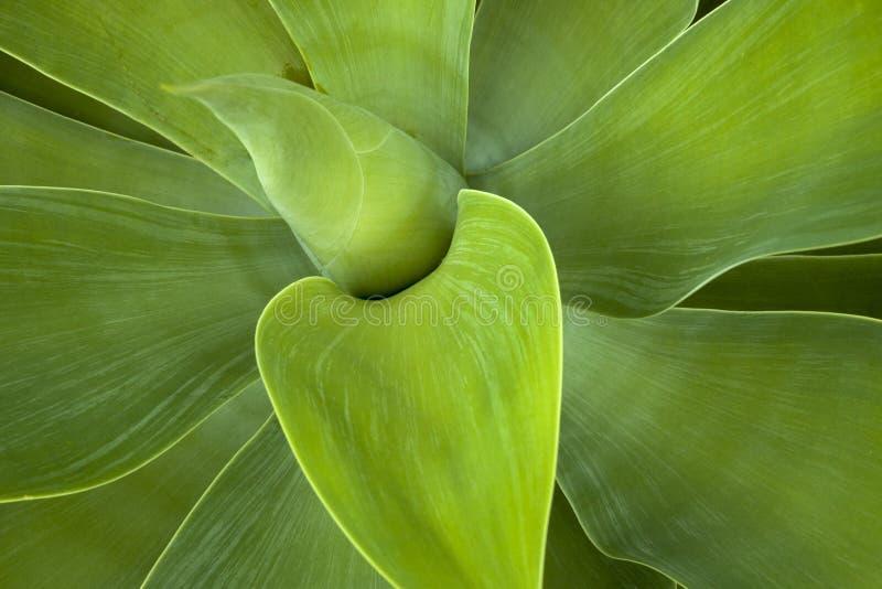 Modelli e strutture verdi delle foglie della pianta succulente fotografie stock libere da diritti