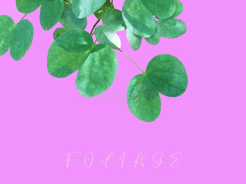 Modelli verdi della foglia, strutture e bella forma dell'isolato delle foglie sul rosa fotografia stock