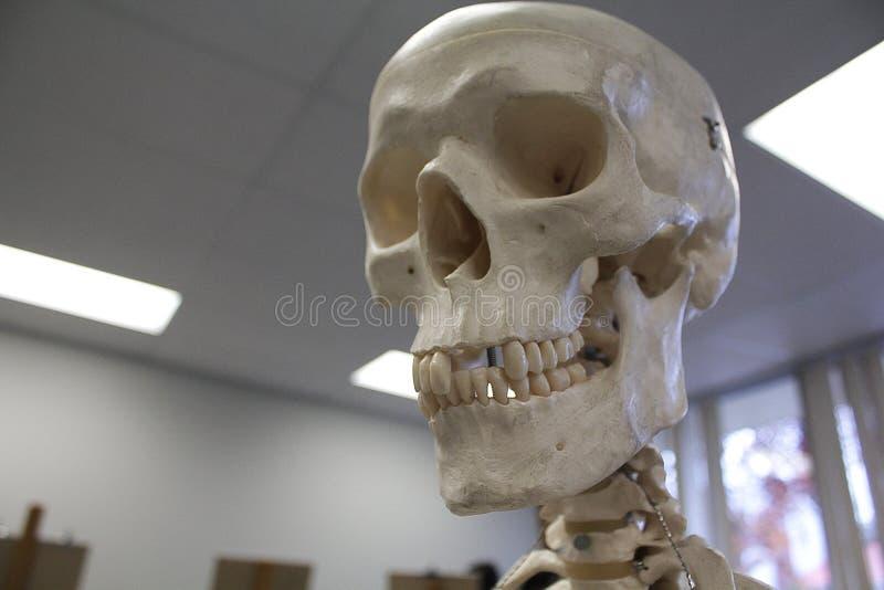 Modello anatomico del cranio umano immagini stock