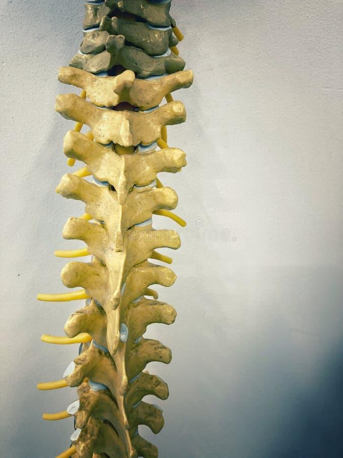 Modello anatomico della spina dorsale fotografie stock