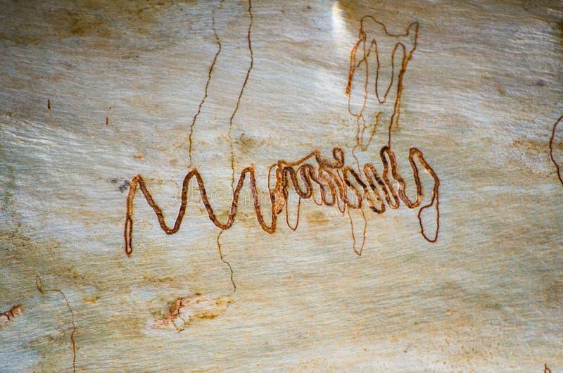 Modello astratto naturale su struttura della corteccia dell'albero di eucalyptus con i percorsi dell'insetto immagini stock libere da diritti