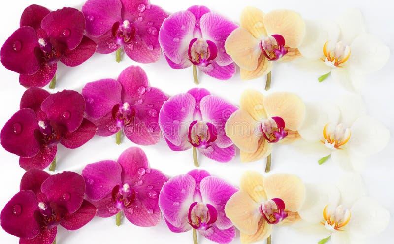 Modello con i fiori delle orchidee su fondo bianco fotografie stock libere da diritti