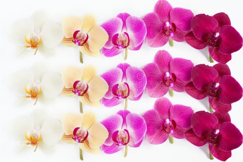 Modello con i fiori delle orchidee su fondo bianco fotografia stock
