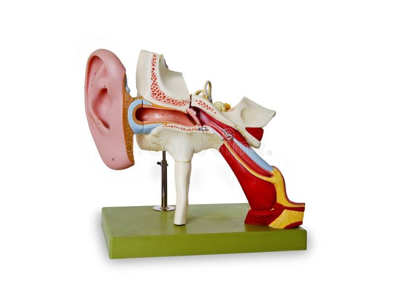 Modello dal canale uditivo immagine stock libera da diritti