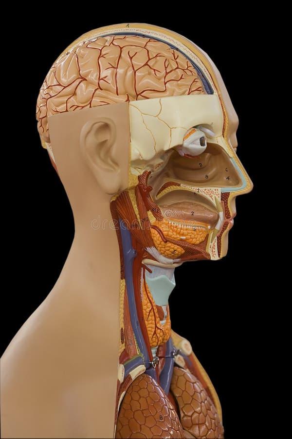 Modello del corpo umano fotografia stock libera da diritti