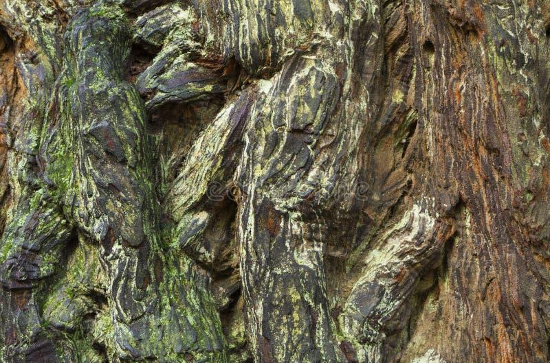 Modello della corteccia della sequoia immagini stock