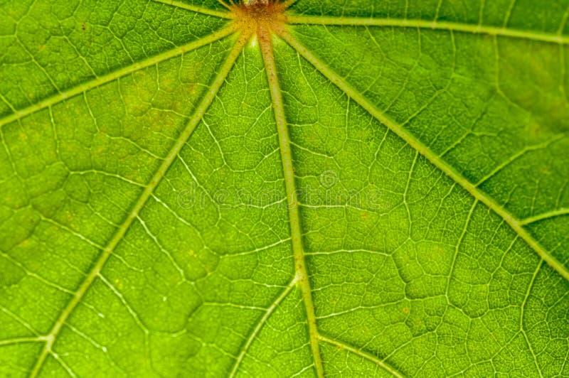 Modello della foglia, verde, vene, backlit, natura, fine fresca su, mackintosh fotografia stock