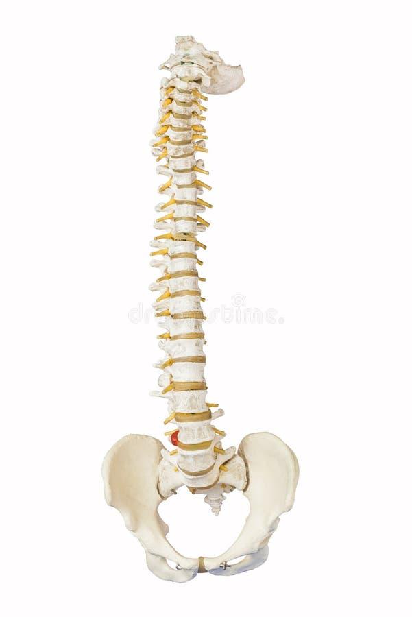 Modello della spina dorsale umana fotografia stock libera da diritti
