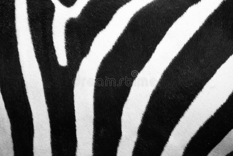 Modello della zebra fotografia stock