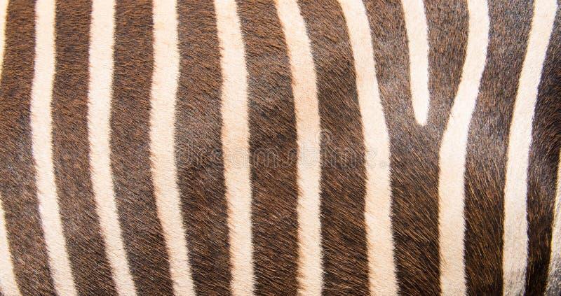 Modello della zebra fotografie stock libere da diritti